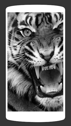 Download White Tiger Wallpaper Hd 4k Free For Android White Tiger Wallpaper Hd 4k Apk Download Steprimo Com