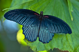 Photo: The male Great Mormon (papilio memnon) butterfly, females are red, black. & gray. Males are blue or black. photo by Don Williamson Photography
