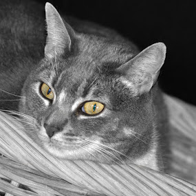 Rosie by Susan D'Angelo - Animals - Cats Portraits ( cat, basket, rosie, striped, gray, kitty, eyes,  )