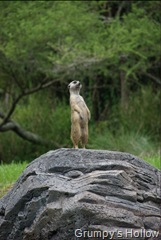 Meerkat on Sentry Duty @ Animal Kingdom