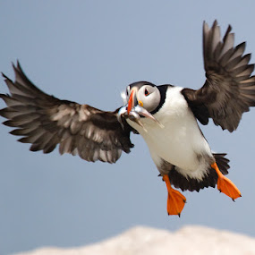 Atlantic Puffin by Wil Domke - Animals Birds ( bird, fish, atlantic puffin, birds, puffin )