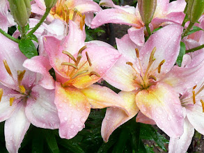 Photo: These lilies are so powerful and so many