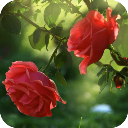Red Rose Flower Live Wallpaper