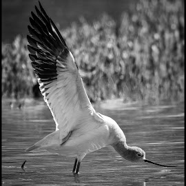 Avocet by Dave Lipchen - Black & White Animals ( avocet )