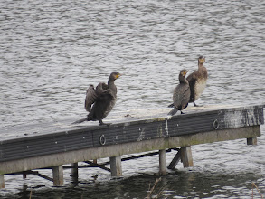 Photo: Priorslee Lake A trio of immature Cormorants on one of the boat platforms. I was surprised that all these immatures – the right-most bird seems to be a 1st year bird – all show yellow at the base of the bill. Reference to the literature confirms this is normal: you live and learn. (Ed Wilson)