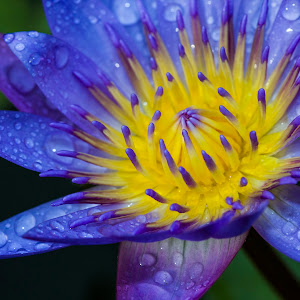water lily5.jpg
