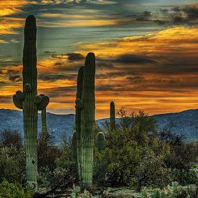 Saguaro at Sunrise by Richard Michael Lingo - Landscapes Sunsets & Sunrises ( saquaro, arizona, saguaro national park, sunrise, cactus,  )