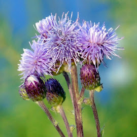 PURPLE WEED by Cynthia Dodd - Novices Only Flowers & Plants ( plant, wild flower, nature, purple, colorful, weeds, flower )