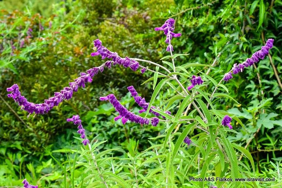 Цветы Израиля. Шалфей белоцветковый (народное название мексиканский шалфей) - Salvia leucantha. Экскурсия на Голанские высоты.