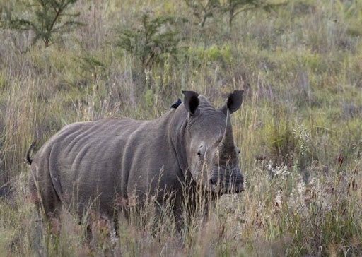 There is nothing wrong with rhino farming, prominent conservationist says