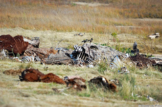 Photo: Remnants of carcasses at the Vulture Restaurant, Golden Gate Highlands National Park (South Africa). Unfortunately no Vultures.