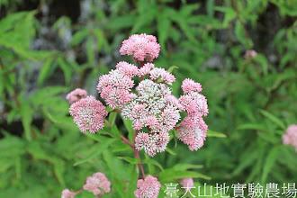 Photo: 拍攝地點: 翠峰-三角峰步道 拍攝植物: 臺灣澤蘭 拍攝日期:2012_08_30_FY