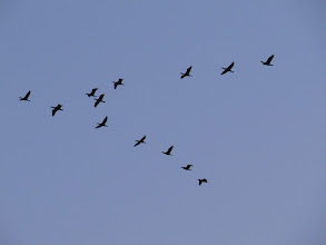 Photo: 25 Jun 13 Priorslee Lake: Here are the 13 Cormorants over at 04:30 from ? to? (Ed Wilson)