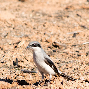 Loggerhead Shrike by Greg Johnson - Animals Birds ( bird, passerine, fauna, blue, avian, white, loggerhead shrike, shrike, birds, animal )
