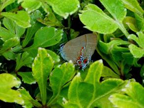 Photo: SUSANNA'S GROUNDSTREAK--calycopis origo-- CEMETARY, TENA, NAPO