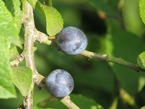 Photo: 26 Aug 13 Priorslee Lake But these Sloes, the fruits of Blackthorn, will certainly not find their way into my stomach: an acquired taste even in Mother's Ruin – Gin. (Ed Wilson)