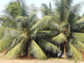 Photo: magnifiques cocotiers
