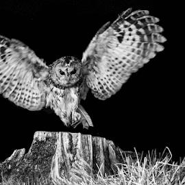 Owl by Garry Chisholm - Black & White Animals ( raptor, owl, bird of prey, nature, night )