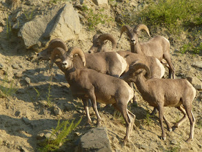 Photo: Bighorn Sheep just up from the Slide Inn.
