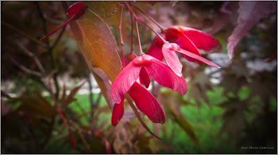 Photo: Arțar roșu (Acer palmatum atropurpurea) - de pe Str. Andrei Muresan, spatiu verde - 2017.09.24