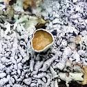 Western tube lichen