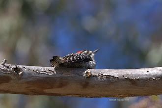 Photo: Nuttell's Woodpecker