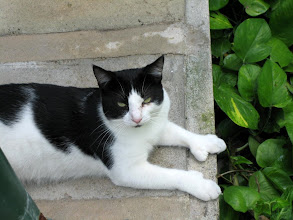 Photo: One of the polydactyl cats at the Hemingway House in Key West