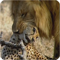 Wildlife - animal attacks videos icon
