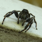 Ludicra Jumping Spider-male
