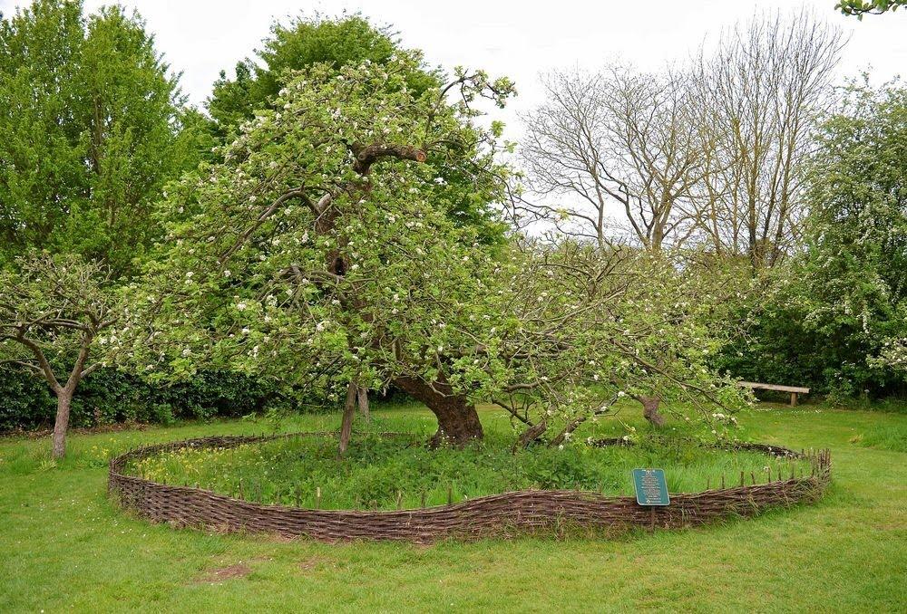 Sir Issac Newton e a história da maçã que caiu da árvore