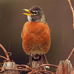 Singing In the Rain by Melanie Melograne - Animals Birds ( robins )
