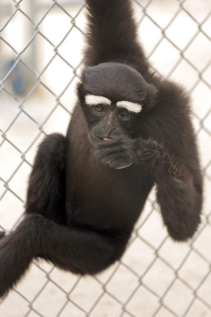 Eastern Hoolock Gibbon.