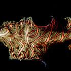 Persian Carpet Flatworm