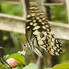 Lime butterfly, male