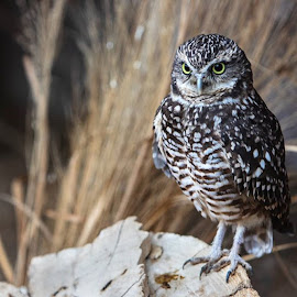Burrowing owl on a log staring down visitors by Kyle Rohlfing - Uncategorized All Uncategorized ( raptorbirds, birdsofnature, birdingphotography, birdsofprey, owl, burrowingowl, naturebirds, owls, owlstagram,  )
