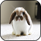 Rabbit Wallpapers Android apk
