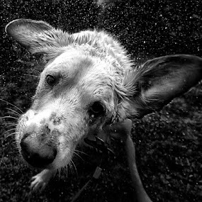 Marvin by Matthew Miller - Animals - Dogs Portraits (  )