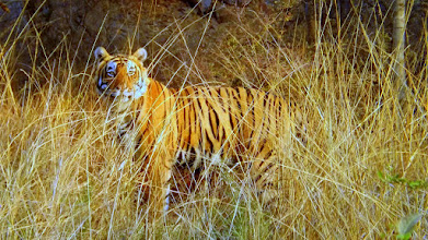 Photo: T74 A big male tiger in Ranthambhore