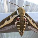 Bedstraw hawk-moth, galium sphinx / Бражник подмаренниковый