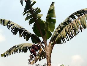 Photo: grand bananier...