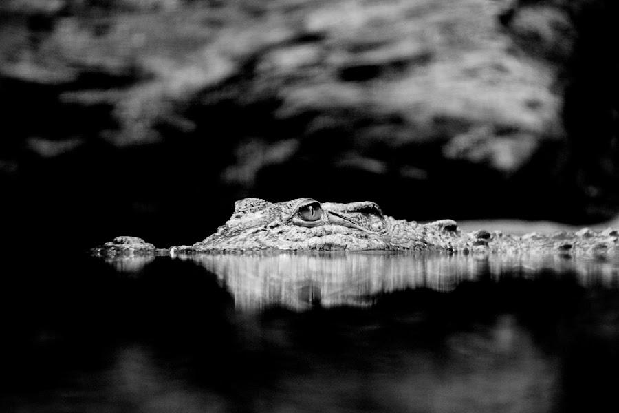 Lurking by Kai Jian - Animals Reptiles