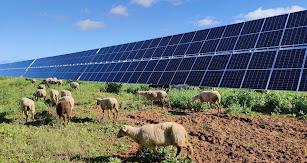 Ovejas pastando junto a una fotovoltaica de Endesa en Teba (Málaga).