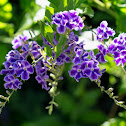 Picotee Sky Flower