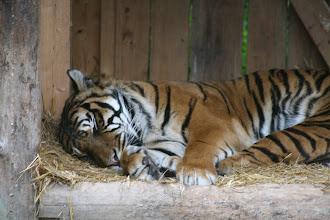Photo: Sumatratiger