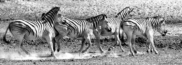 Photo: Zebras frolicking at Haak en Steek waterhole,  Mokala National Park.