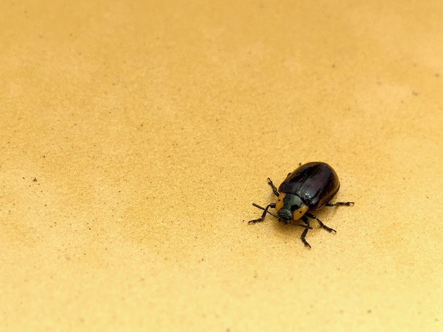 by Michele Whitlow - Animals Insects & Spiders ( northern, california, bay area, insect, beetle )