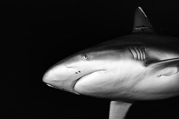 Black shark di Andrea Izzotti
