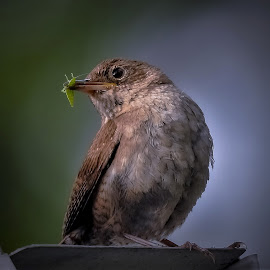 Tiny pride by Sue Delia - Animals Birds ( yard, wren, bug, bird, catch,  )