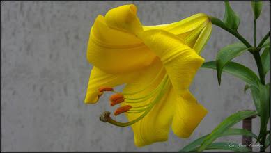 Photo: Crin galben (Lilium bulbiferum) - din Turda,  Str. Avram Iancu, o curte - 2019.06.28