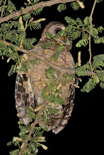 Photo: African Wood-Owl
